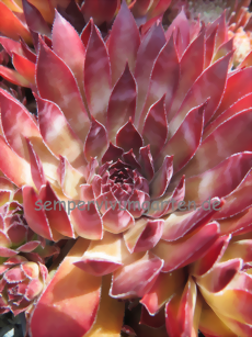 Sempervivum Zircon II