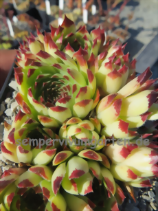Sempervivum Sir William Lawrence